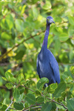 Little Blue Heron Photographic Print by Ken Archer
