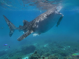 Whale Shark with a Remora Feeding at Surface, Oslob, Cebu, Philippines Photographic Print by Tim Fitzharris