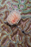 Indonesia, West Papua, Raja Ampat. Feather Duster Worm on Coral Photographic Print by Jaynes Gallery