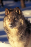 Gray Wolf in Snow Photographic Print by John Alves