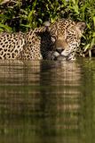 South America, Brazil, Pantanal Wetlands, Jaguar Preparing to Cross the Three Brothers River Photographic Print by Judith Zimmerman