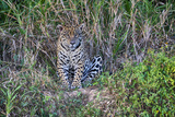 Brazil, Mato Grosso, the Pantanal, Rio Cuiaba. Jaguar on the River Bank Photographic Print by Ellen Goff