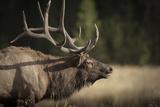 Mud Covered Antlers , Rut, Cervus Elaphus, Madison River, Yellowstone National Park, Wyoming Photographic Print by Maresa Pryor