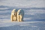 Polar Bears in Churchill Wildlife Management Area, Churchill, Manitoba, Canada Photographic Print by Richard and Susan Day