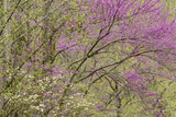 Redbud Trees in Spring Bloom, Great Smoky Mountains National Park, Tennessee Photographic Print by Adam Jones