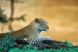 A Leopard Laying on a Log Next to a River in the Samburu National Preserve, Kenya Photographic Print by John Alves