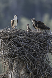 Wyoming, Sublette County, a Pair of Osprey with their Chick Stand on a Stick Nest Reproduction photographique par Elizabeth Boehm