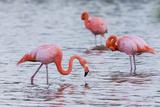 Ecuador, Galapagos Islands, Floreana, Punta Cormoran, Greater Flamingo Feeding Photographic Print by Ellen Goff