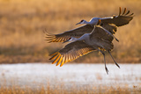 Sandhill Cranes Landing at Roosting Marsh Photographic Print by Larry Ditto