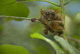 Philippine Tarsier Hanging Out in a Tree, Bohol, Philippines Photographic Print by Tim Fitzharris