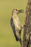 Texas, Hidalgo County. Golden-Fronted Eating Photographic Print by Jaynes Gallery