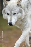 Gray Wolf, Canis Lupus, West Yellowstone, Montana Photographic Print by Maresa Pryor