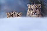Snow Leopards, Montana, Usa Photographic Print by Tim Fitzharris