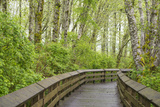 Washington State, Sandpiper Trail Boardwalk in Alder Tree Grove Photographic Print by Trish Drury