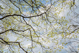 Skyward View of Dogwood Tree Blossoms in Spring, Great Smoky Mountains National Park, Tennessee Photographic Print by Adam Jones