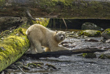 Canada, British Columbia, Inside Passage. White Spirit Bear Hunts for Fish on Riordan Creek Photographic Print by Jaynes Gallery