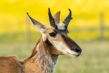 South Dakota, Custer State Park. Pronghorn Buck Portrait Photographic Print by Jaynes Gallery