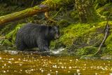Canada, British Columbia, Inside Passage. Black Bear Fishing on Qua Creek Photographic Print by Jaynes Gallery