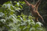 Orangutan Swinging Through the Trees, Sabah, Malaysia Photographic Print by Tim Fitzharris