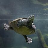 Portrait of a Giant Asian Pond Turtle, Singapore Fotoprint van Tim Fitzharris