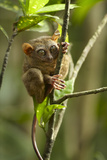 Philippine Tarsier Reaching for a Branch, Bohol, Philippines Photographic Print by Tim Fitzharris