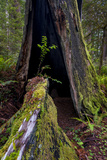 California. Burned Out Redwood and New Growth, Lady Bird Johnson Grove Photographic Print by Judith Zimmerman