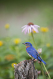 Eastern Bluebird Male in Flower Garden, Marion County, Il Fotografisk tryk af Richard and Susan Day