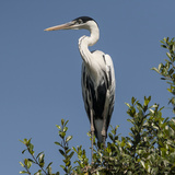 Brazil, Pantanal, Cocoi Heron Perched in the Tree Tops in the Brazilian Jungle Wetlands Photographic Print by Judith Zimmerman