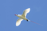 Red-Tailed Tropicbird, Kilauea Point National Wildlife Refuge, Kauai, Hawaii Photographic Print by Michael DeFreitas