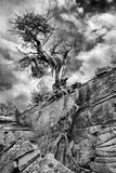 Utah. Black and White Image of Desert Juniper Tree Growing Out of a Canyon Wall, Cedar Mesa Photographic Print by Judith Zimmerman