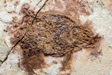 Semionotus Fish Fossil at Dinosaur Discovery, Johnson Farm, St. George, Utah Photographic Print by Michael DeFreitas