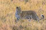Botswana. Okavango Delta. Khwai Concession. Leopard Starts to Hunt Photographic Print by Inger Hogstrom