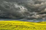 Rolling Hills of Yellow Canola, Palouse Region of Eastern Washington Photographic Print by Adam Jones