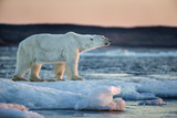 Canada, Male Polar Bear Standing on Drifting Pack Ice, Wager Bay and Ukkusiksalik National Park Photographic Print by Paul Souders