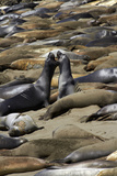 Northern Elephant Seals Fighting, Piedras Blancas Elephant Seal Rookery, California Photographic Print by David Wall