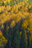 Colorado. Autumn Yellow Aspen and Fir in the Uncompahgre National Forest Photographic Print by Judith Zimmerman