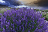 California, Sierra Nevada Mountains. Inyo Bush Lupines in Bloom Photographic Print by Jaynes Gallery