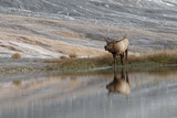 Bull Elk Reflecting on Pond at Base of Canary Spring, Yellowstone National Park, Wyoming Photographic Print by Adam Jones