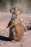 Black-Tailed Prairie Dog Standing, Badlands National Park, South Dakota, Usa Photographic Print by John Barger