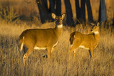 White-Tailed Deer Doe and Fawn Photographic Print by Larry Ditto