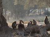 Africa, Zambia. Troop of Baboons Resting Photographic Print by Jaynes Gallery