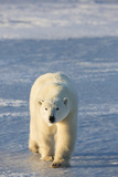 Polar Bear in Churchill Wildlife Management Area, Churchill, Manitoba, Canada Photographic Print by Richard and Susan Day