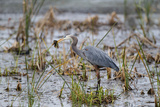 Great Blue Heron with Fish Photographic Print by Larry Ditto