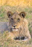 Botswana. Chobe National Park. Savuti. Juvenile Male Lion Photographic Print by Inger Hogstrom