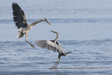 Great Blue Herons, Skirmish Photographic Print by Ken Archer