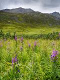 Alaska, Hatchers Pass, Fireweed in Bloom Photographic Print by Savanah Stewart