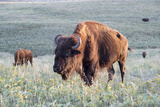Buffalo in Custer State Park Photographic Print by Howie Garber