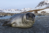 South Georgia Island, St. Andrew's Bay. Close-Up of Elephant Seal Pup on Beach Photographic Print by Jaynes Gallery