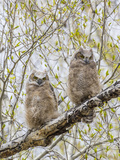 Wyoming, Two Great Horned Owls Sit in a Cottonwood Tree after Recently Fledging their Nest Photographic Print by Elizabeth Boehm
