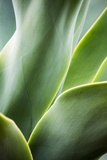 Hawaii, Maui, Agave Plant with Fresh Green Leaves Photographic Print by Terry Eggers